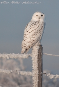 Snowy owl on frosty fence post