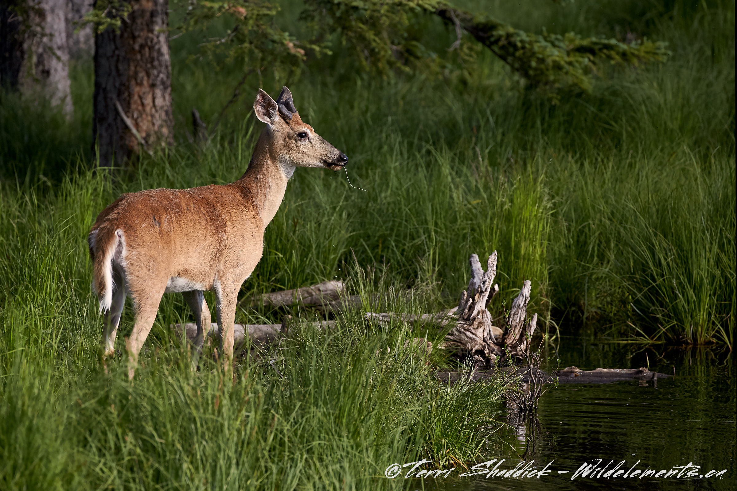 White tailed ruminating by water