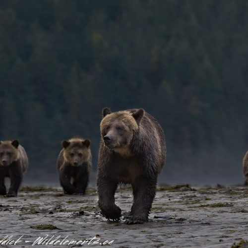 Bear Bridgade mom three cubs