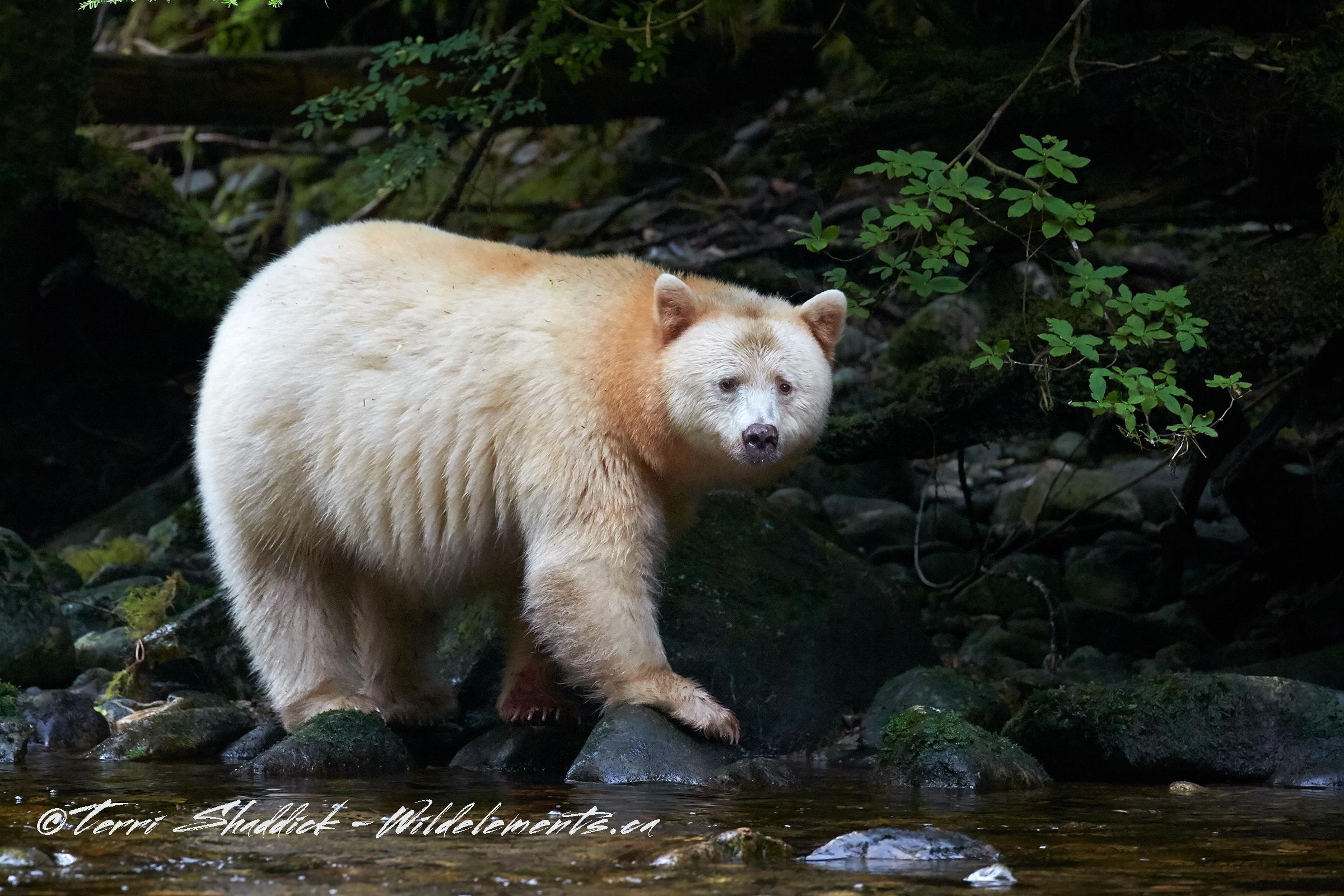 Spirit Kermode Bear Great Bear Rainforest