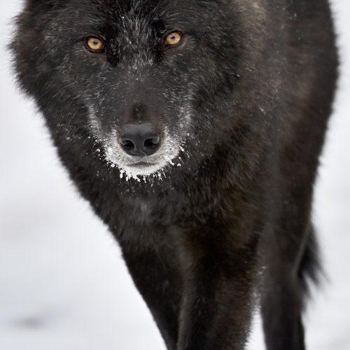 Black Grey Gray Wolf Banff National Park