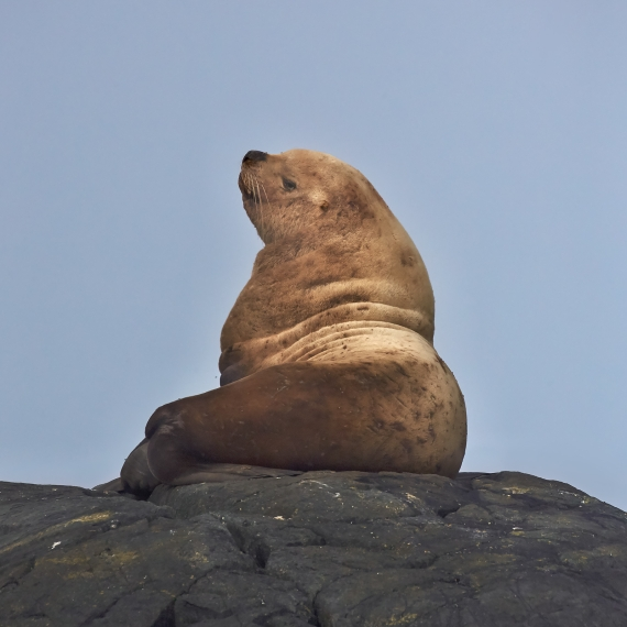 Sea Lion Rock the boss