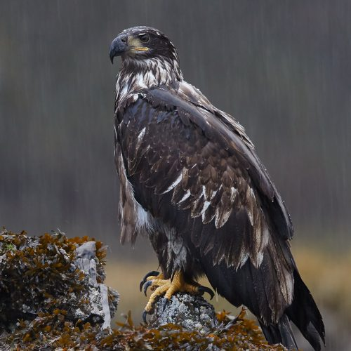 Bald Eagle Perched in Downpour Hurricane