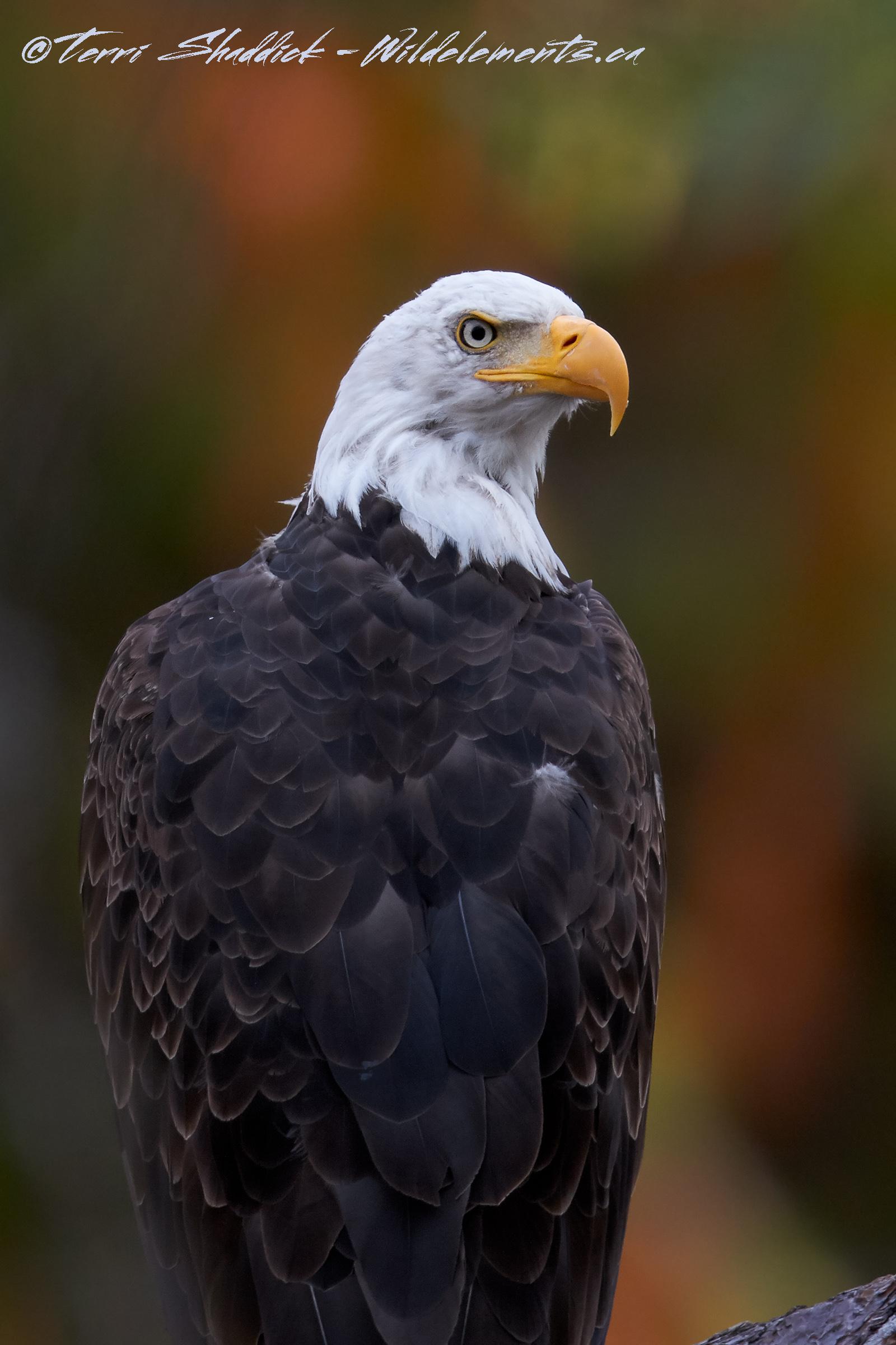 Bald Eagle in Fall Watercolors
