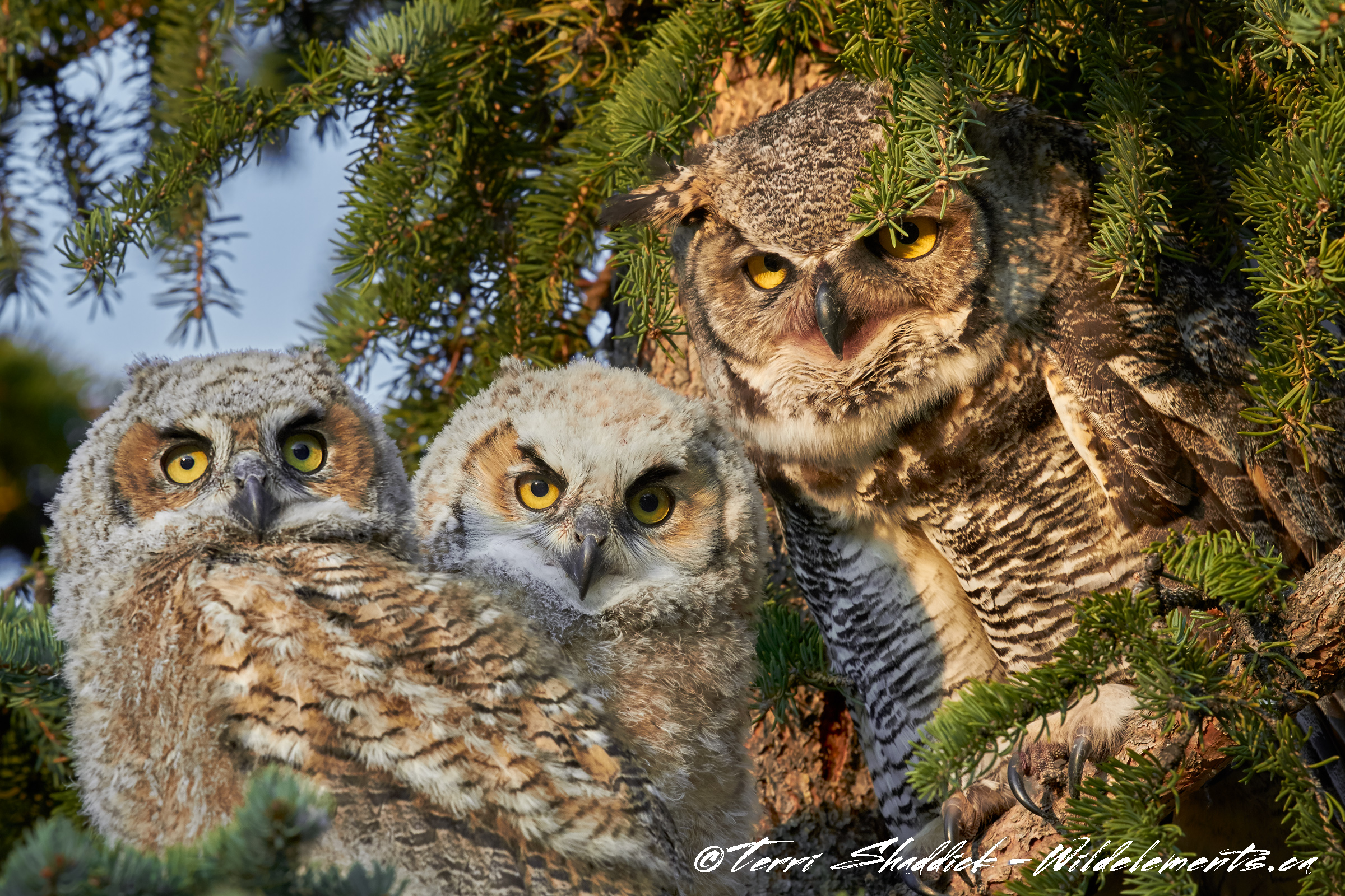 Great Horned Owl Family Photo