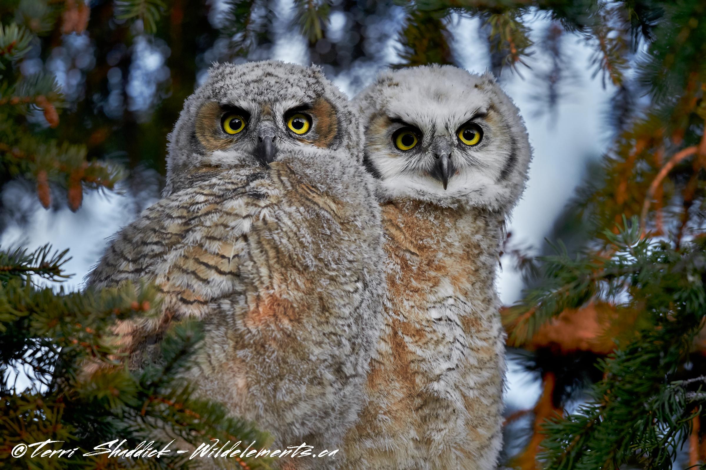 Great Horned Owls Baby Siblings