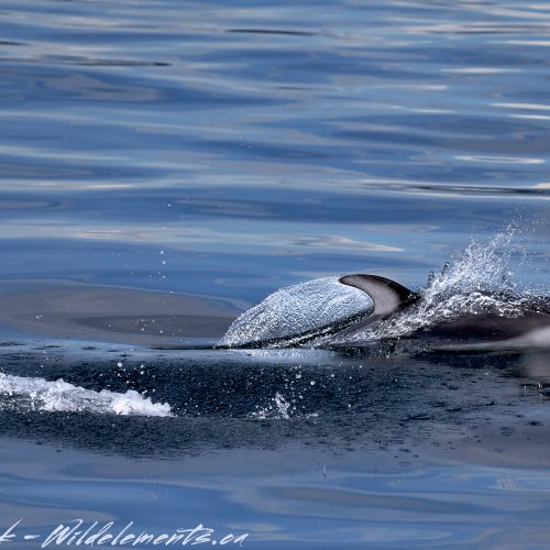 Pacific White-Sided Dolphin gliding through water