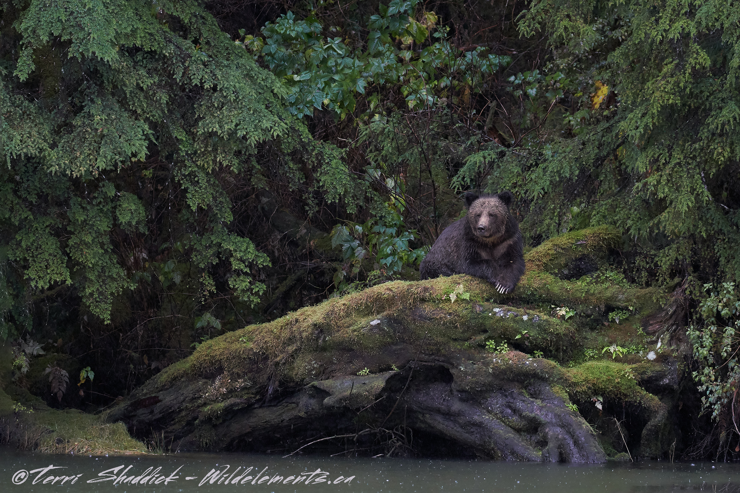 Grizzly Bear Great Bear Rainforest