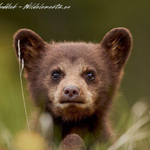 Black Bear Cub popping his head up