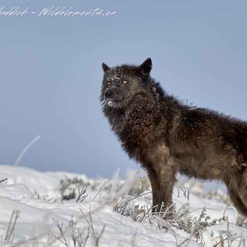 Grey Wolf Yellowstone