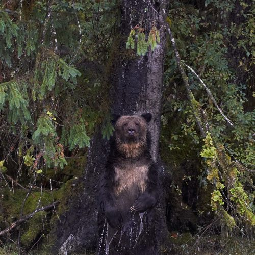 Grizzly Bear rubbing on a tree