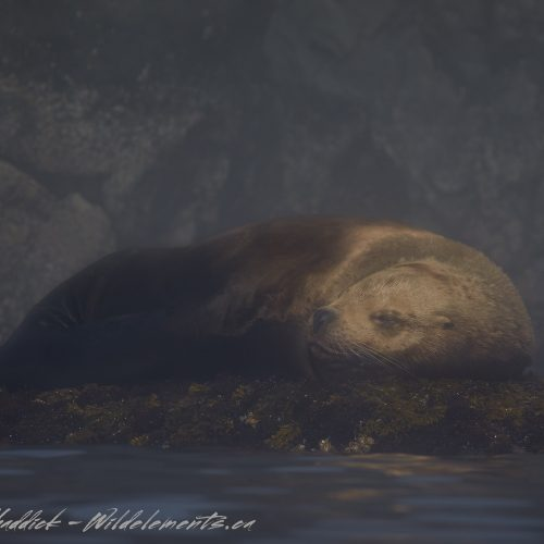 Sea Lion Snoozing Sleeping British Columbia