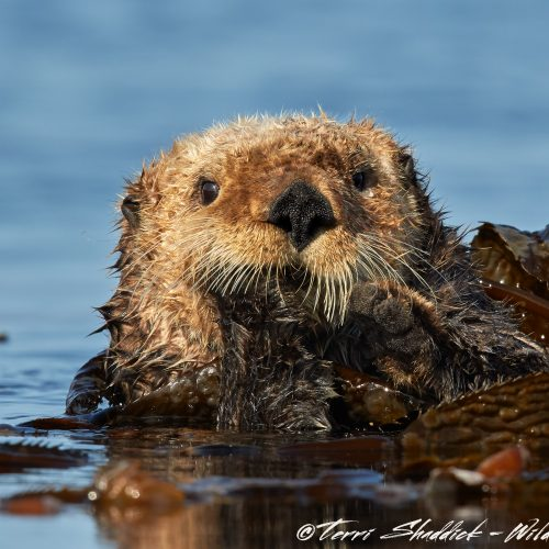 Sea Otter Serious