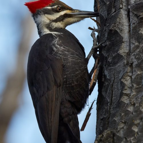 Pileated Woodpecker pecking tree