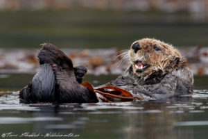 Sea Otter - Photographed @ 1000mm